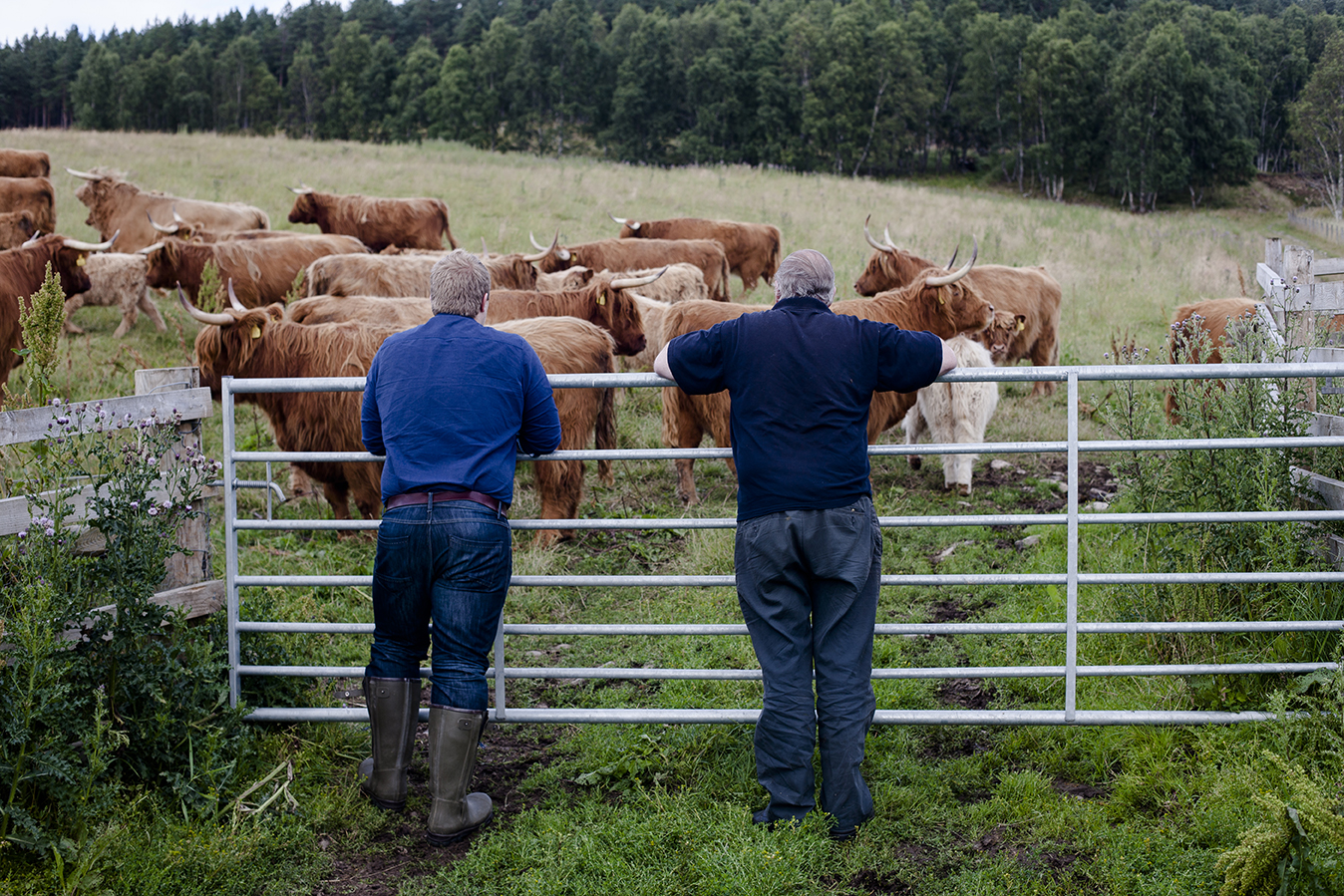 Two farmers lean on a gate, watching cattle.