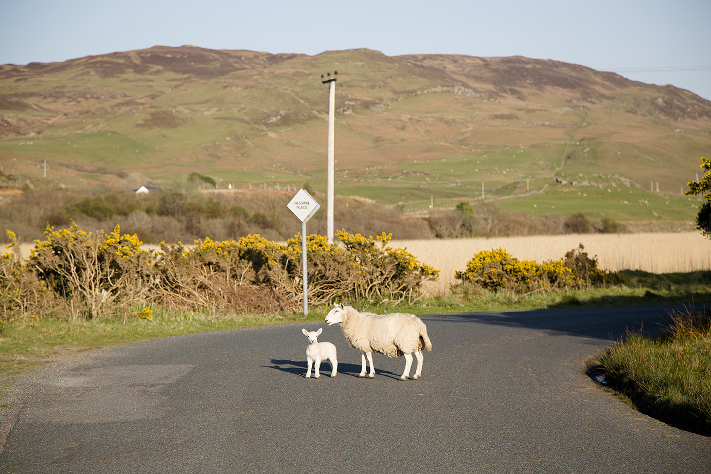 A sheep and a lamb cross a road in the rural landscape.