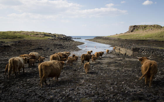 A herd of cows graze near an inlet of wter